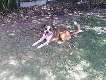 Boxer X Red Heeler Male Cambrai Mid Murray Preview