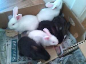 Rabbits For Sale Murray Bridge Murray Bridge Area Preview