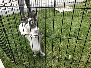 2 Male Bunnies for sale with cage
