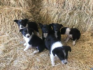 Border collie x Kelpie Pups Eden Bega Valley Preview