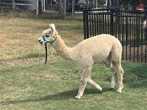 Male Alpaca Ipswich Ipswich City Preview