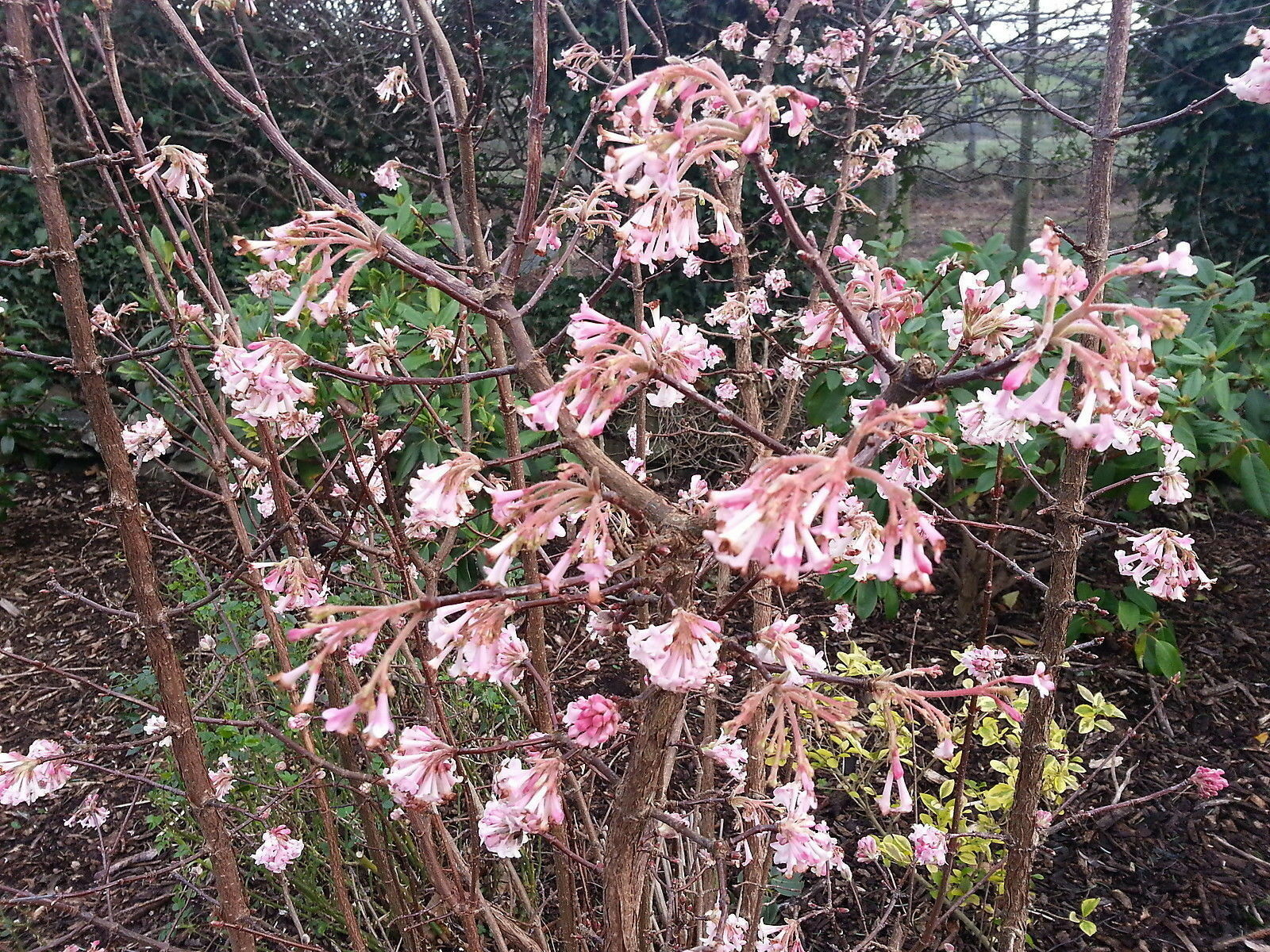 viburnum bodnantense 39 dawn 39 bodnant viburnum 40cm tall in 3l pot ebay. Black Bedroom Furniture Sets. Home Design Ideas