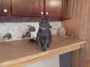 Missing grey tabby