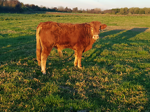 Prue limousin bulls stud bred Marsden Park Blacktown Area Preview