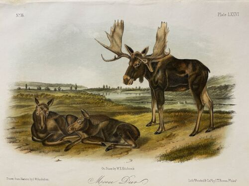 Moose Deer Plate - Audubon Quadrupeds of North America Octavo1850s, Exc. Colors