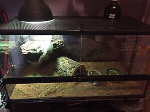 One year old male dragon terrarium and accessories