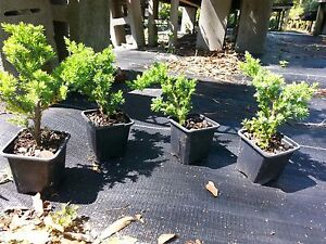 Procumbens Nana Juniper, Bonsai starter plant Evergreen, FIVE plants