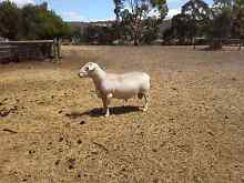 White Dorper Ram Macclesfield Mount Barker Area Preview