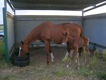 Horse for sale Allora Southern Downs Preview