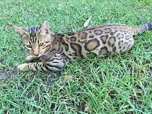 Pure bread Bengal kittens Grose Wold Hawkesbury Area Preview