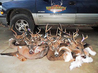 7  X17 1 4  Whitetail Buck Deer Cape Sleek Oct  Fur  701 Y Cut Taxidermy Mount