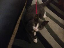 Teenage kitten for sale Annerley Brisbane South West Preview