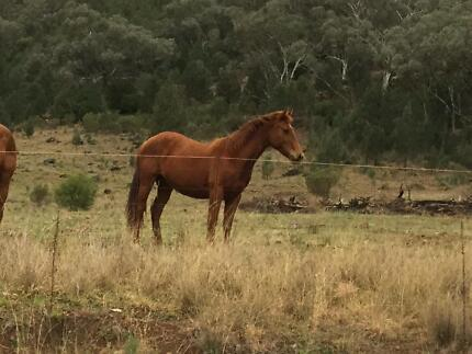 Registered QH filly by RS Chisum. cutting or other cow sports