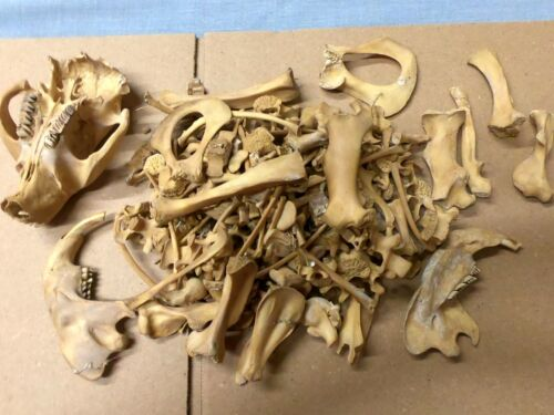 Taxidermy skeleton Beaver (Castor canadensis) dissarticulated not sorted