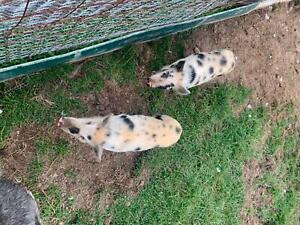 2 miniature pigs for sale