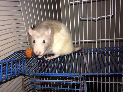 Wanted: Rat wanted