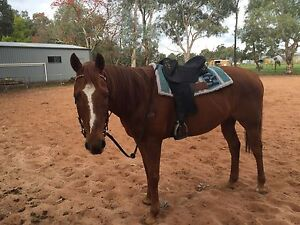 Confidence builder Thoroughbred gelding for sale Baldivis Rockingham Area Preview