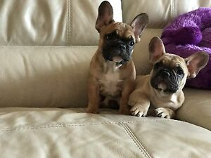 Don't miss: French Bulldog Females: Red, Black, White, Brindle!