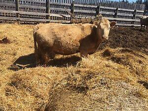 25 mixed cow/calf pairs