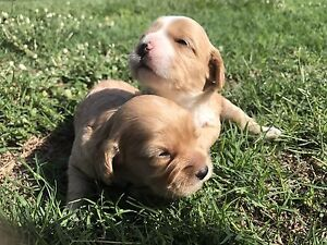 Cavoodle puppies Mango Hill Pine Rivers Area Preview