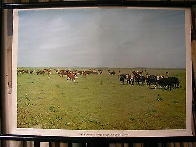Schulwandbild Mural Image Cow Rinderherde Argentina Pampa South America 72x51c