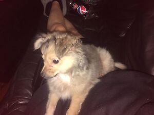 Chihuahua x Pomeranian Dundas Parramatta Area Preview
