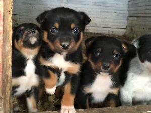 Border Collie/Kelpie Puppies