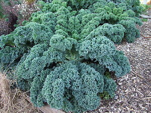 Kale  Blue Curled Dwarf (400 seeds)- Heritage Organic from Life-Force Seeds