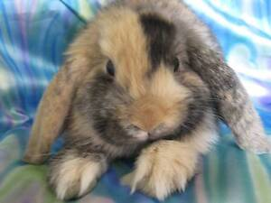 purebred baby mini lop rabbit Sydenham Brimbank Area Preview