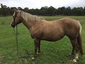 Beautiful Palomino Mare The Summit Southern Downs Preview