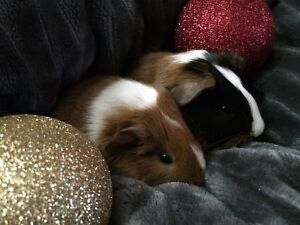 baby boy guinea pigs for xmas**SOLD PPU