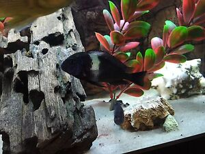 Selling young 2 1/2 inch Tropheus