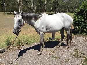 Horse Grey Mare 16.2hh 6yrs Clarence Town Dungog Area Preview