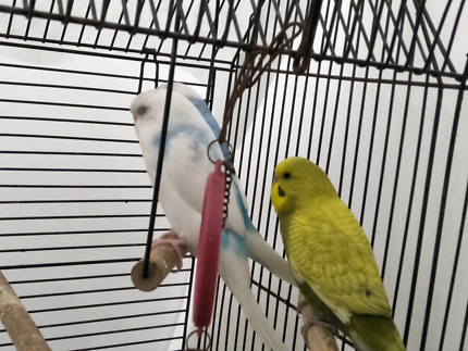 3 young budgies