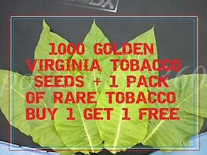 1000 golden Virginia tobacco seeds + 1 pack of  RARE TOBACCO BUY 1 GET 1 FREE