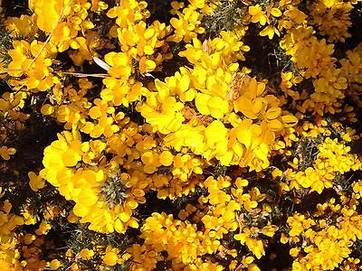 20 Gorse Hedging Bush,Prickly Furze Plants,Fragrant Yellow Whin Evergreen Hedge