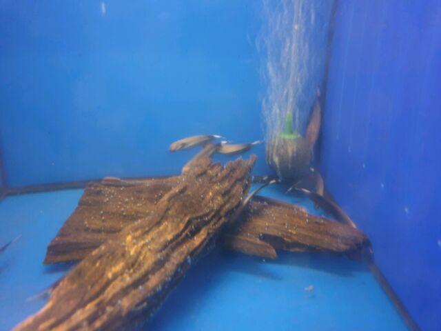 White Ghost Knifes Fish Gumtree Australia Fairfield Area St Johns Park 1262948995