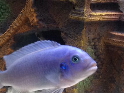 Cobalt blue cichlid  Liverpool Liverpool Area Preview