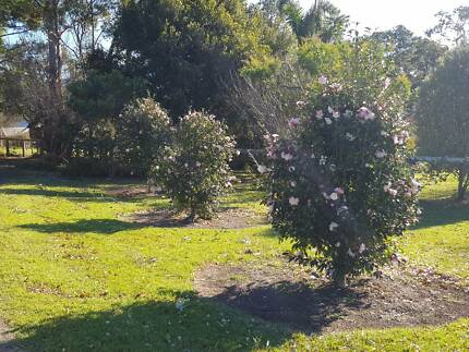 Camellia Trees - 7 x large and established Berry Shoalhaven Area Preview