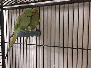 Breeding pair of Indian Ringneck parrots