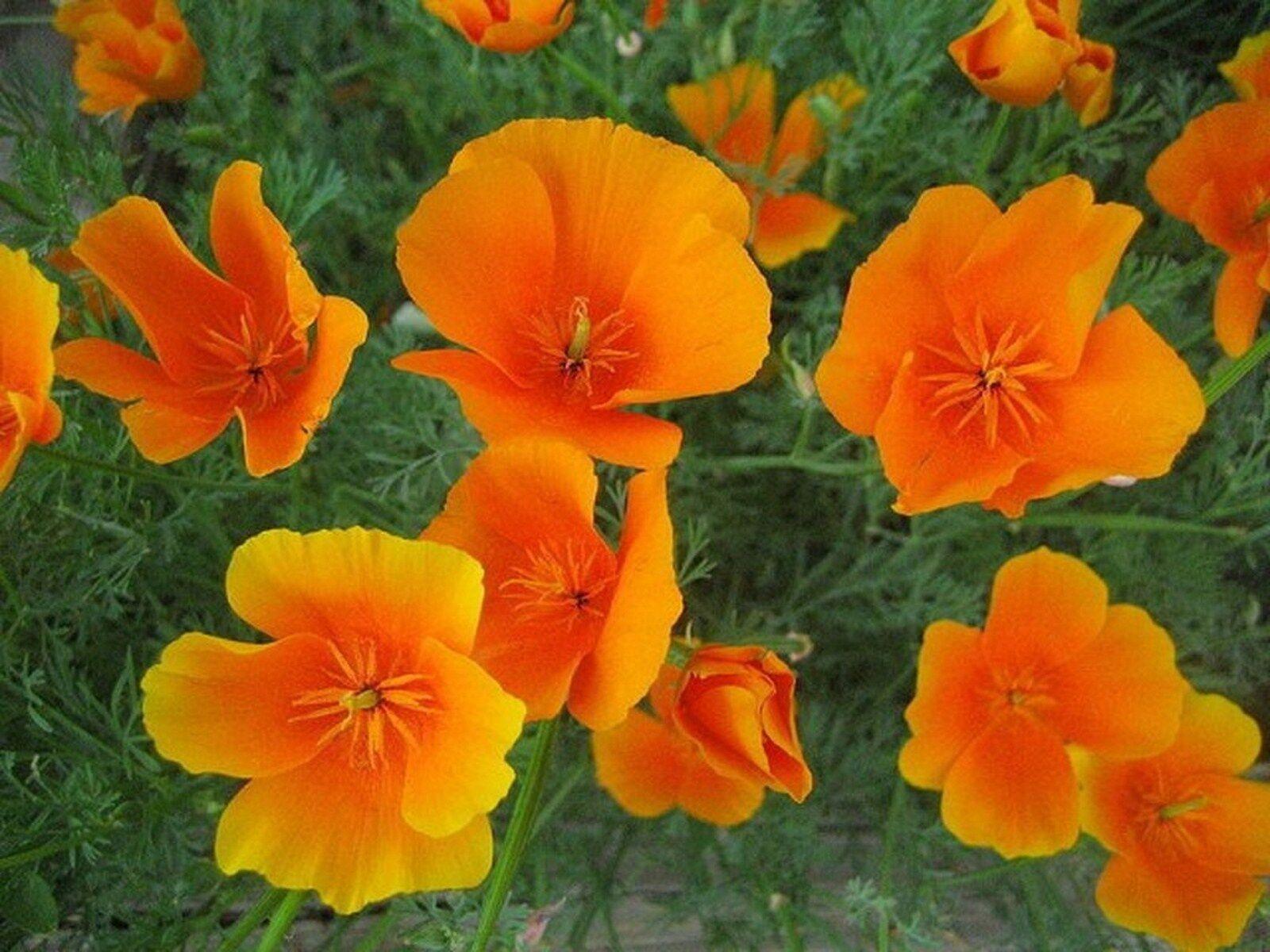 многолетние оранжевые цветы фото и названия