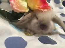 SITTING SERVICE FOR BUNNIES Burnside Melton Area Preview