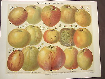 APPLE VARIETIES 1800'S GERMAN CHROMOLITHOGRAPH-FRUIT-FOOD-BLOSSOMS-TREE