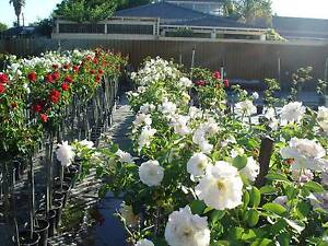 ROSES NURSERY - STANDARD SEDUCTION ROSE BUSHES - ALL $45.00 EACH Cannington Canning Area Preview