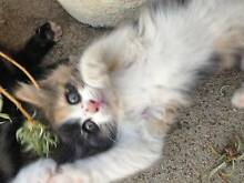 4 Kittens for sale Penrith Penrith Area Preview