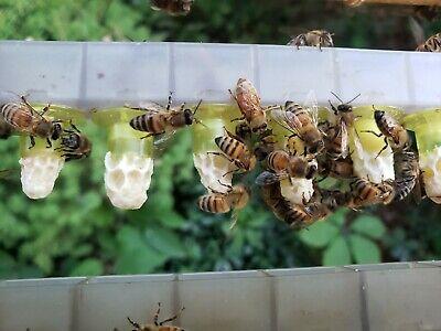 Buy Queen Cells Italian Queen Bees