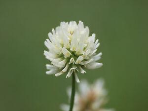 3000 Samen Weißklee Trifolium Repens Weiß Klee