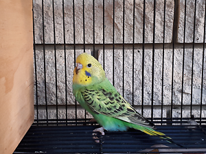 Baby budgies and father budgie Mount Warren Park Logan Area Preview