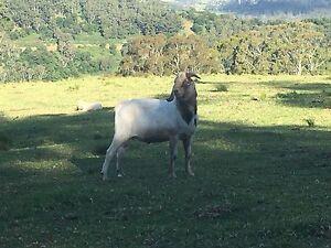 Goat - Anglo Nubian buck Dapto Wollongong Area Preview