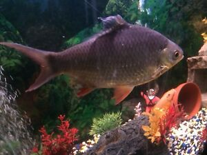 2 free Red Tailed Tin Foil Barbs (10&3 inch)